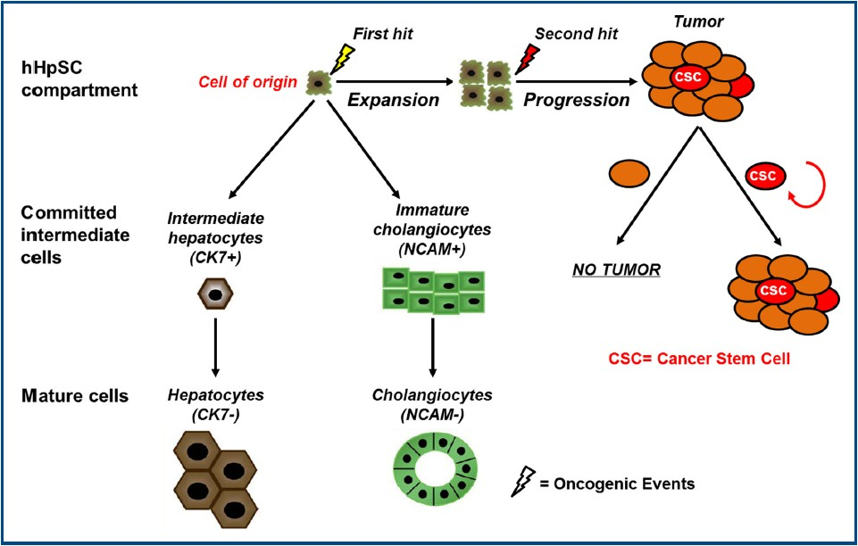 cells of origin and cancer stem cells in cholangiocarcinoma