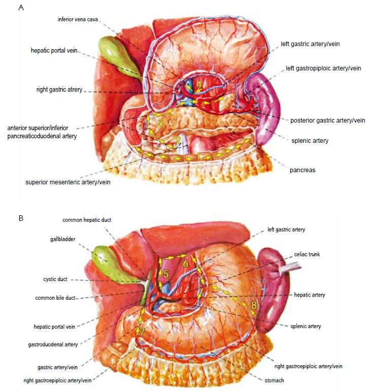 Laparoscopic radical gastrectomy for gastric cancer - Yang ... Gastrocolic Ligament